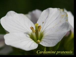 photo cardamine